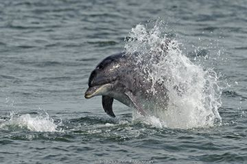 Bottlenose dolphin (Tursiops truncatus) breaching. Moray Firth, Scotland.
