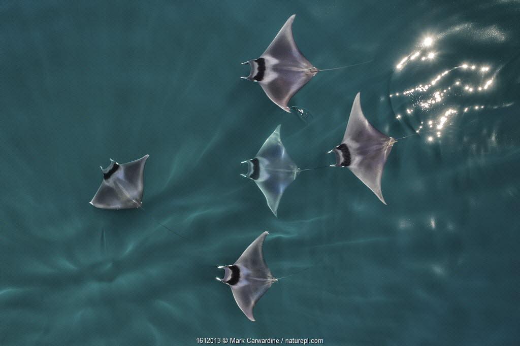 Spinetail devil rays (Mobula mobular) aerial view, Baja California, Mexico.