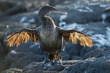 Flightless cormorant (Phalacrocorax harrisi), Punta Espinosa, Fernandina Island, Galapagos.