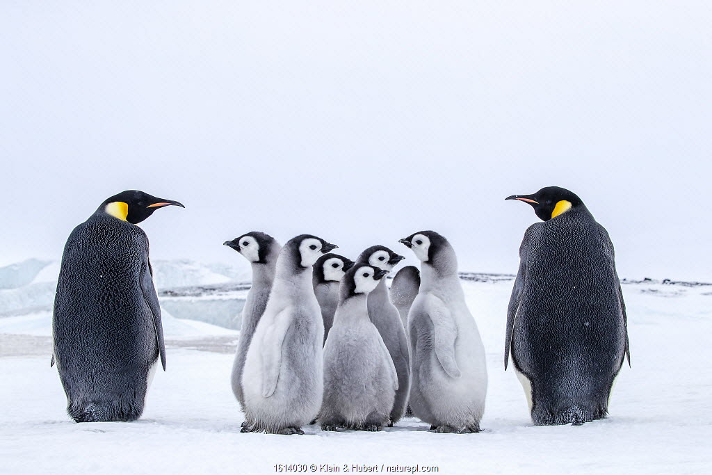 Emperor penguins (Aptenodytes forsteri) group of chicks between two adults, Antarctica.