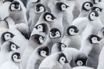 Emperor penguins (Aptenodytes forsteri) chicks in creche,