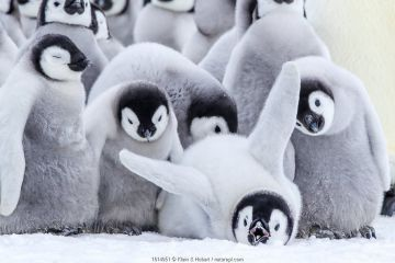 Emperor penguins (Aptenodytes forsteri) group of chicks, one stretching, Antarctica.