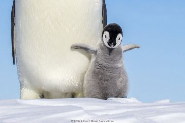 Emperor penguin (Aptenodytes forsteri) adult and chick shaking wings, Antarctica.