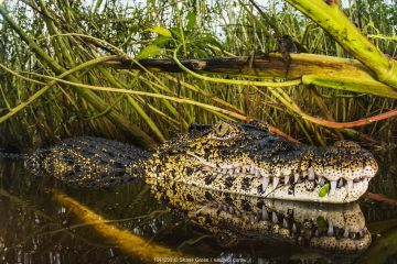 Cuban crocodile (Crocodylus rhombifer) in a cenote in Cienaga de Zapata National Park. Cuba.