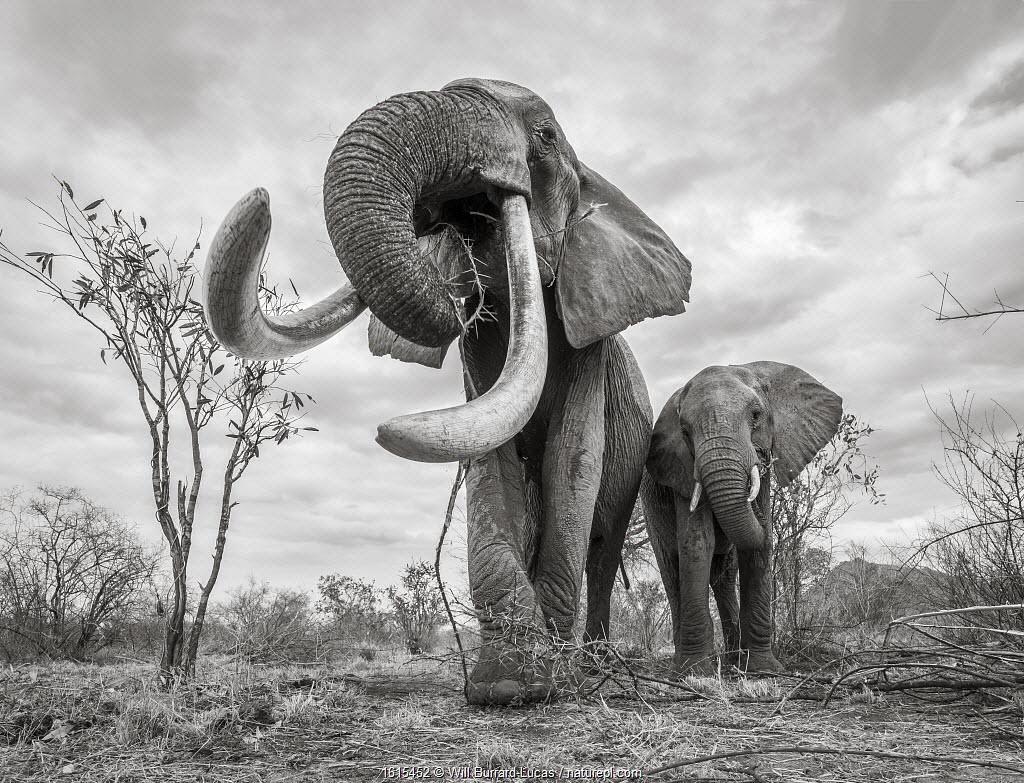 African elephant (Loxodonta africana) females with large tusk feeding, Tsavo Conservation Area, Kenya.