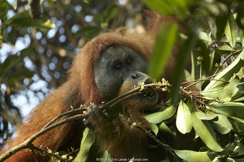 Tapanuli orangutan (Pongo tapanuliensis) Togus, adult flanged male feeding on flowers, Batang Toru Forest. Sumatran Orangutan Conservation Project, North Sumatran Province, Indonesia.