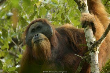 Tapanuli orangutan (Pongo tapanuliensis) Togus, adult flanged male, Batang Toru Forest. Sumatra, Indonesia.