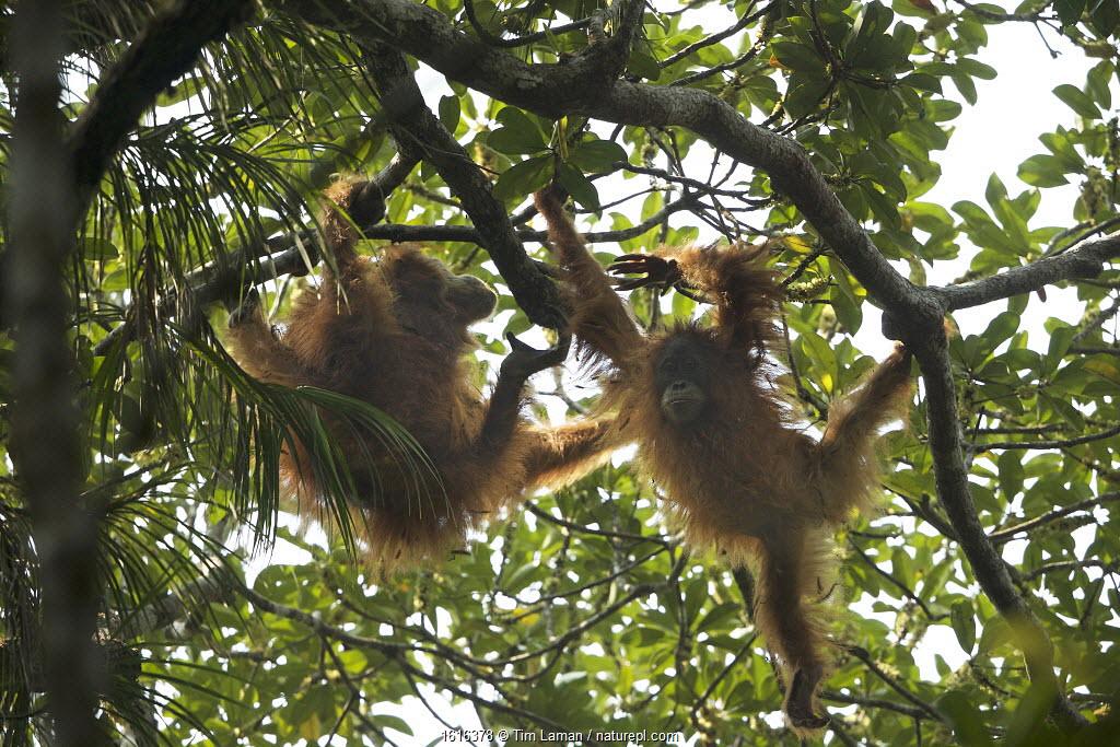 Tapanuli Orangutan (Pongo tapanuliensis) Beti, juvenile female approximate age 6 years, playing with mother, Beta, Batang Toru Forest,Sumatran Orangutan Conservation Project, North Sumatran Province, Indonesia.