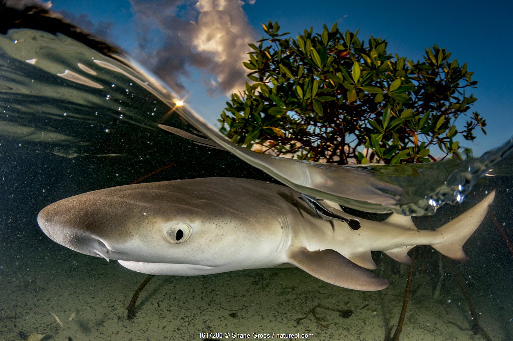 Lemon shark pup (Negaprion brevirostris) in mangrove forest which acts as a nursery for juveniles of this species. Eleuthera, Bahamas.