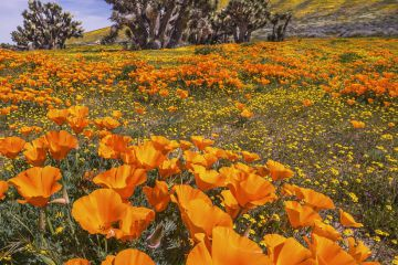 Yellow California goldfields and orange California Poppies, with a flowering Joshua tree