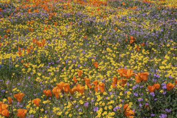 Yellow California goldfields and orange California poppies, with gilia intermixed.