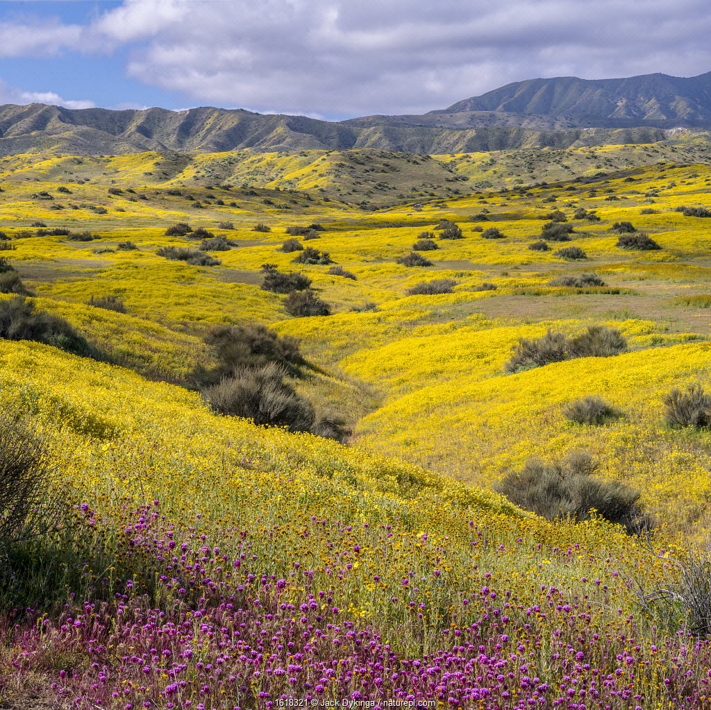 Foothills of the Temblor Range, carpeted with Coreopsis (yellow) and Purple Owl's Clover flowers.