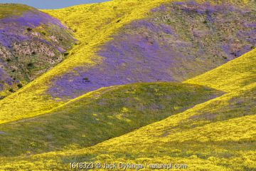 Steep valleys in the foothills of the Temblor Range, carpeted with Coreopsis (yellow) and Phacelia (purple) with patches of orange California poppy.