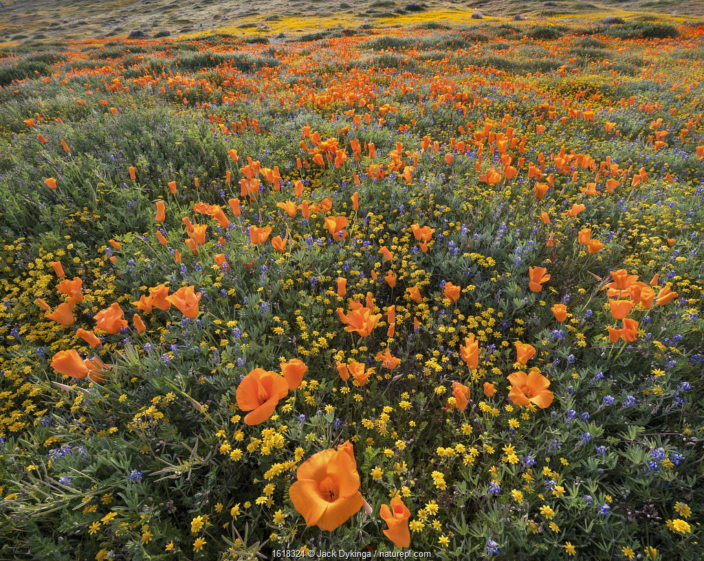 Yellow California goldfields and orange California poppies, with lupins intermixed