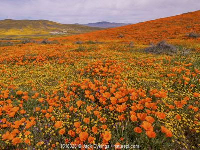 Carpet of yellow California goldfields punctuated by orange California poppies.