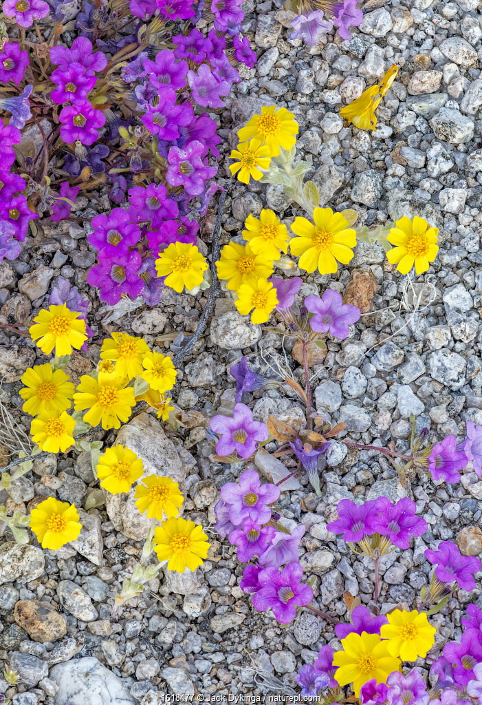 Purplemat and California goldfields growing through pebbles of a dry streambed