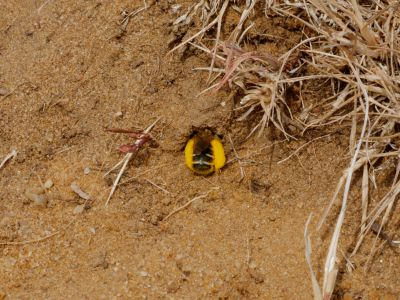 Female pantaloon bee (Dasypoda hirpites) returning to burrow, Bedfordshire, England, UK, July.