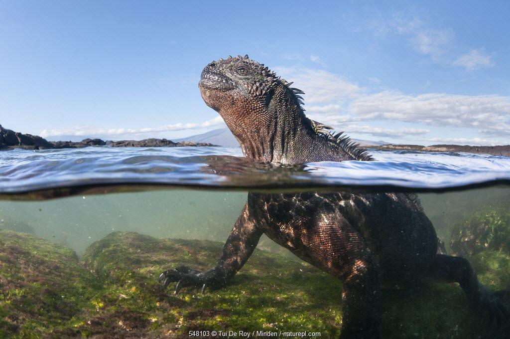 Marine Iguana (Amblyrhynchus cristatus) in water, Punta Espinosa, Fernandina Island, Galapagos Islands, Ecuador