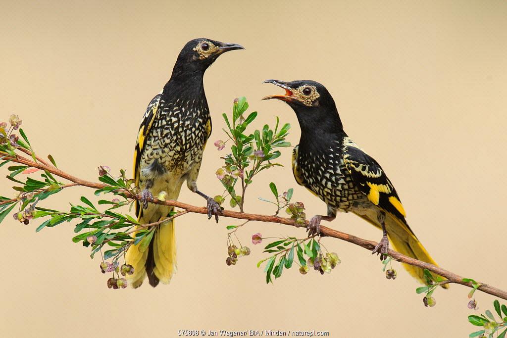 Regent Honeyeater (Anthochaera phrygia) pair, New South Wales, Australia