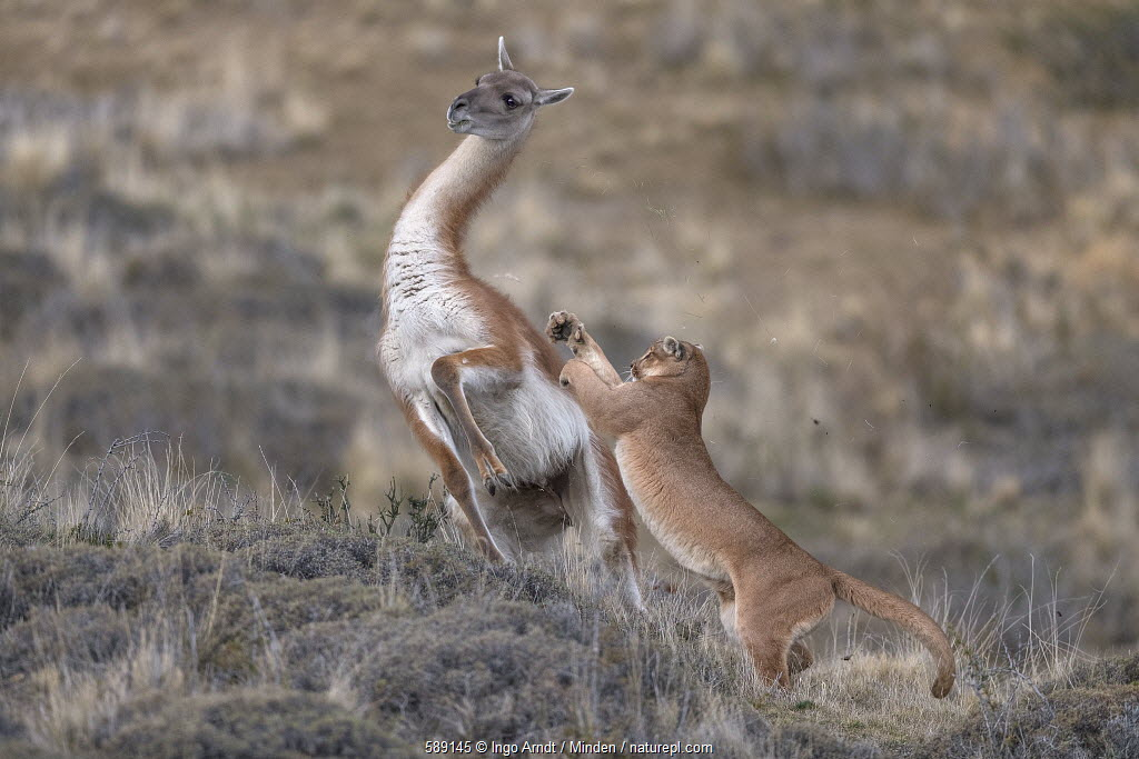 Mountain lion hunting Guanaco, Torres del Paine National Park, Patagonia.
