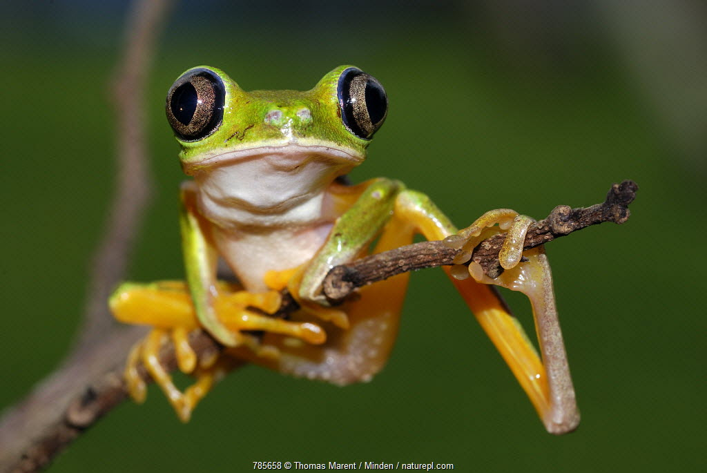 Lemur Frog (Phyllomedusa lemur) portrait, Siquirres, Costa Rica