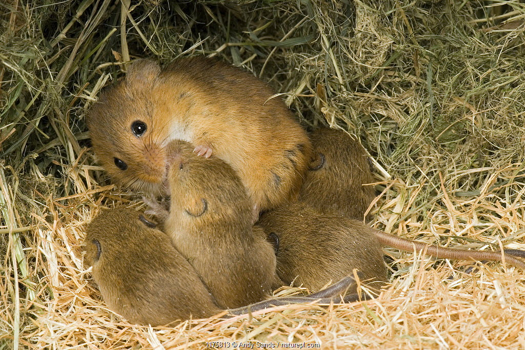 Harvest mouse {Micromys minutus} mother cleaning 1-week babies in nest, captive, UK