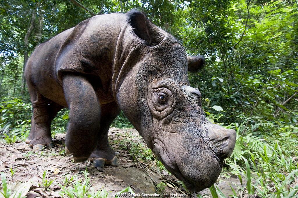 Head portrait of Sumatran rhino (Dicerorhinus sumatrensis) looking at camera with curiosity. Captive-Sumatran Rhino Sanctuary, within Way Kambas National Park, Lampung Province, southern Sumatra, Indonesia