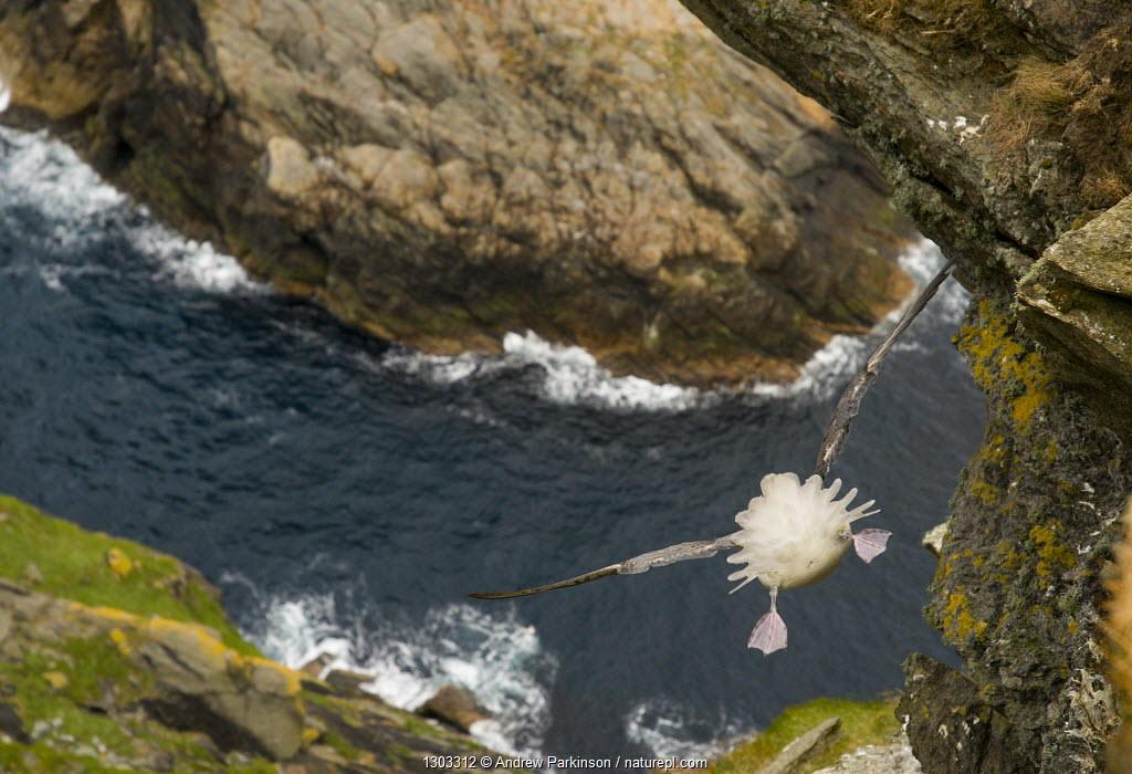Fulmar (Fulmarus glacialis) rear view of bird hanging in air over steep cliffs, Shetland Islands, Scotland, UK.
