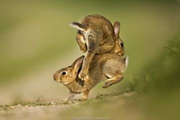 Two European Rabbit (Oryctolagus cuniculus) young playing and jumping, UK
