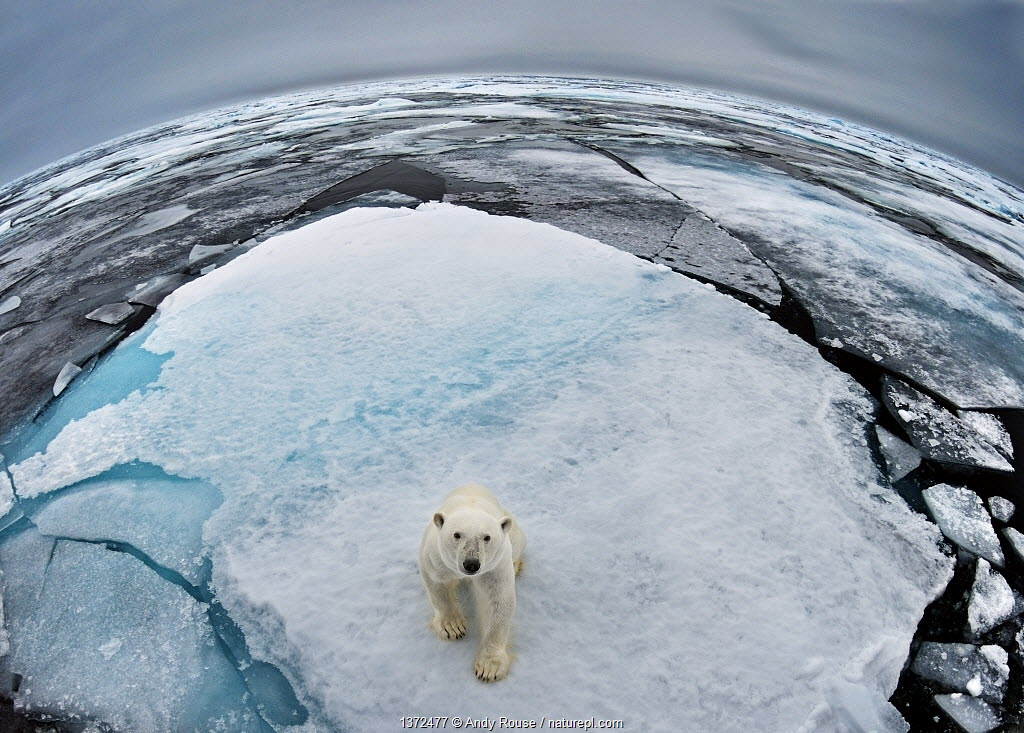 Polar Bear (Ursus maritimus) portrait in sea-ice landscape. Wide angle / fish-eye shot. Svalbard, Norway, September.