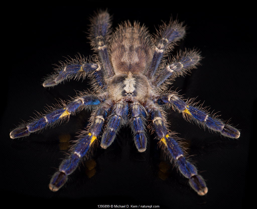 Gooty Sapphire Ornamental Tree Spider (Poecilotheria metallica), captive, from Asia, critically endangered.