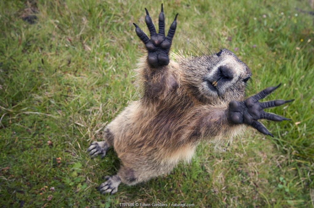 Alpine marmot (Marmota marmota) reaching hands upwards, Hohe Tauern National Park, Austria, July