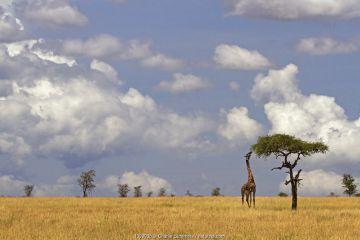 Maasai Giraffe (Giraffa camelopardalis tippelskirchi) feeding on Acacia tree, Serengeti, Tanzania.