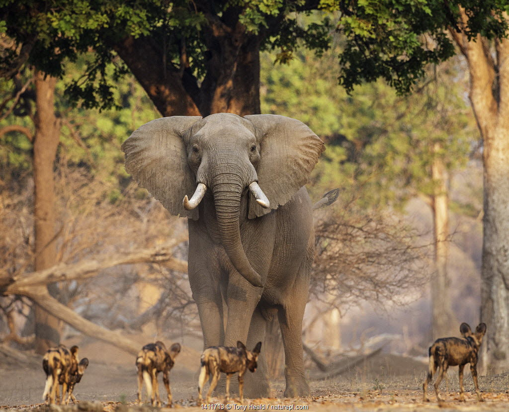African Wild Dog (Lycaon pictus) pack passing in front of large African elephant (Loxodonta africana) Mana Pools National Park, Zimbabwe.