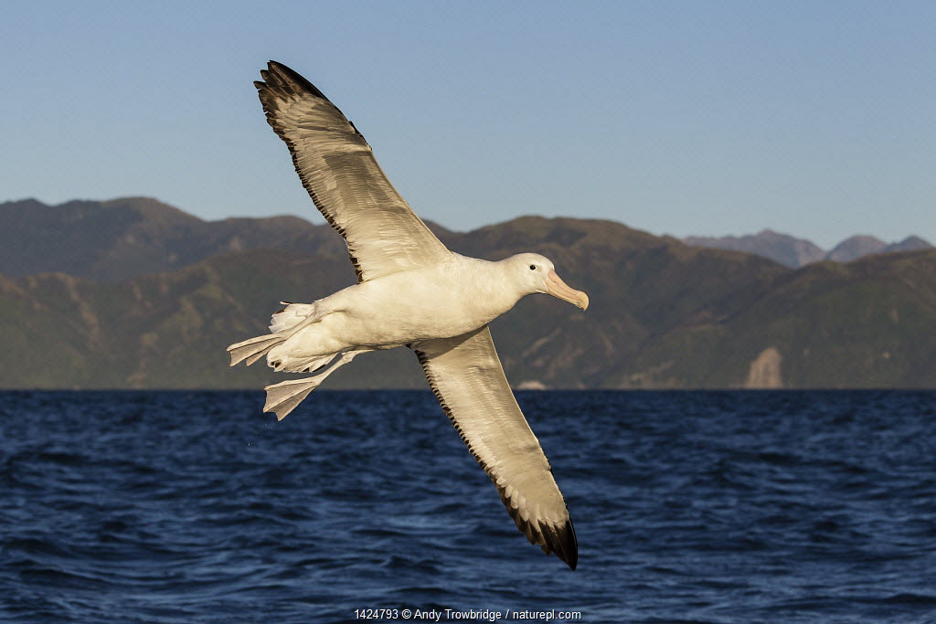 Gibson's Albatross (Diomedea antipodensis gibsoni) in flight, Kaikoura coastline in the background. Kaikoura, South Island, New Zealand, Januray.