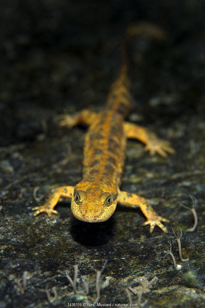 Portrait of a Sardinian brook salamander (Euproctus platycephalus) in a shallow stream. San Vito, Sardinia, Italy. Endemic to Sardinia, endangered species.