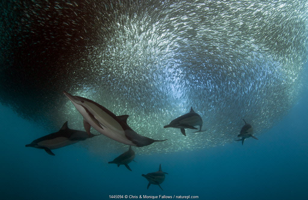 Common dolphin (Dephinus delphis) pod feeding on sardines (Sardinops oecllata) East London, South Africa.