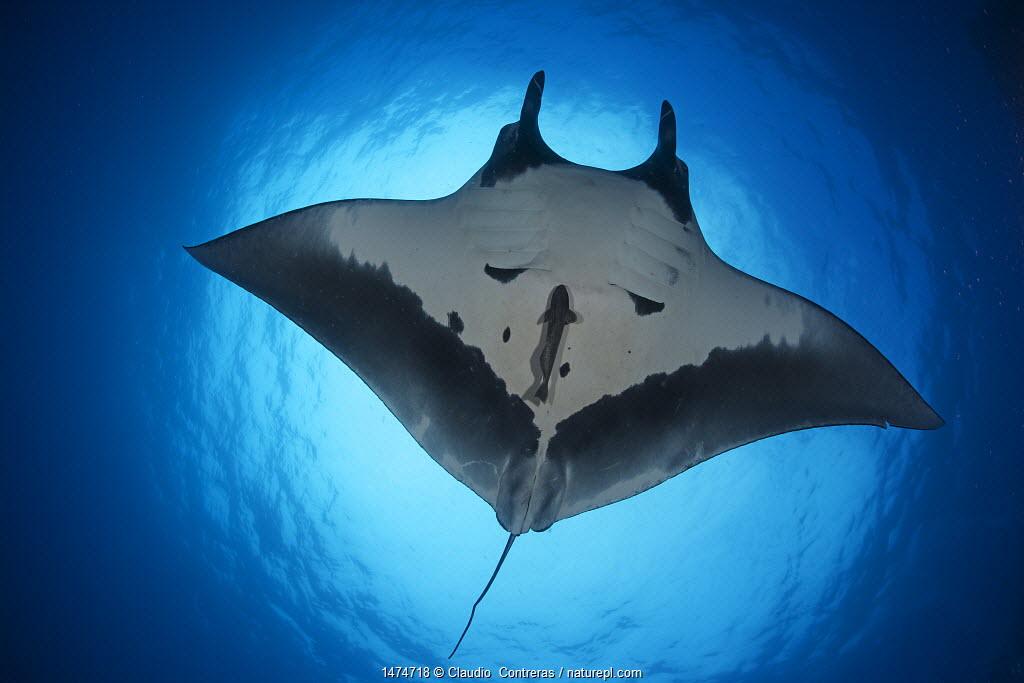 Giant Manta Ray (Manta birostris), San Benedicto Island, Revillagigedo Archipelago Biosphere Reserve (Socorro Islands), Pacific Ocean, Western Mexico. Vulnerable species.