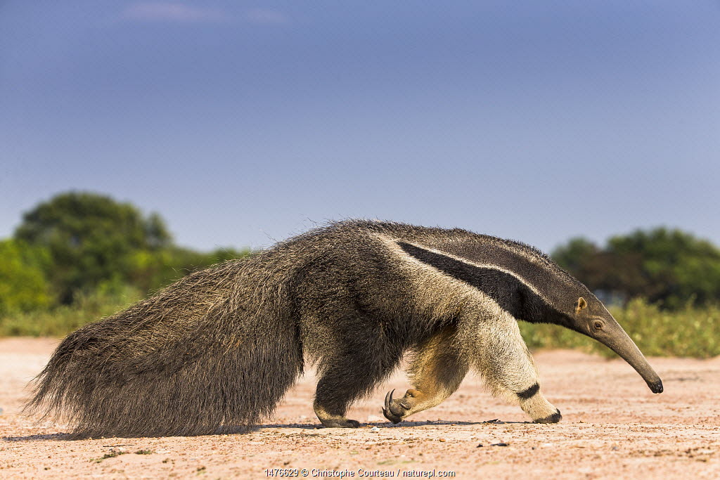 Giant anteater (Myrmecophaga tridactyla) walking in habitat, Hato El Cedral. Llanos, Venezuela.