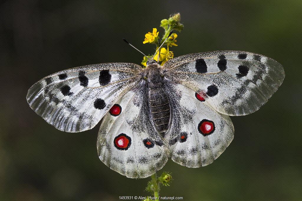 Apollo butterfly (Parnassius apollo) Nordtirol, Austrian Alps, July