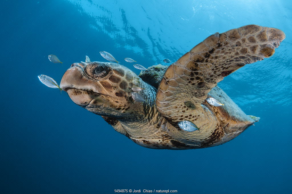 Loggerhead turtle (Caretta caretta) surrounded by other small fish, Los Gigantes, South Tenerife, Canary Islands, Atlantic