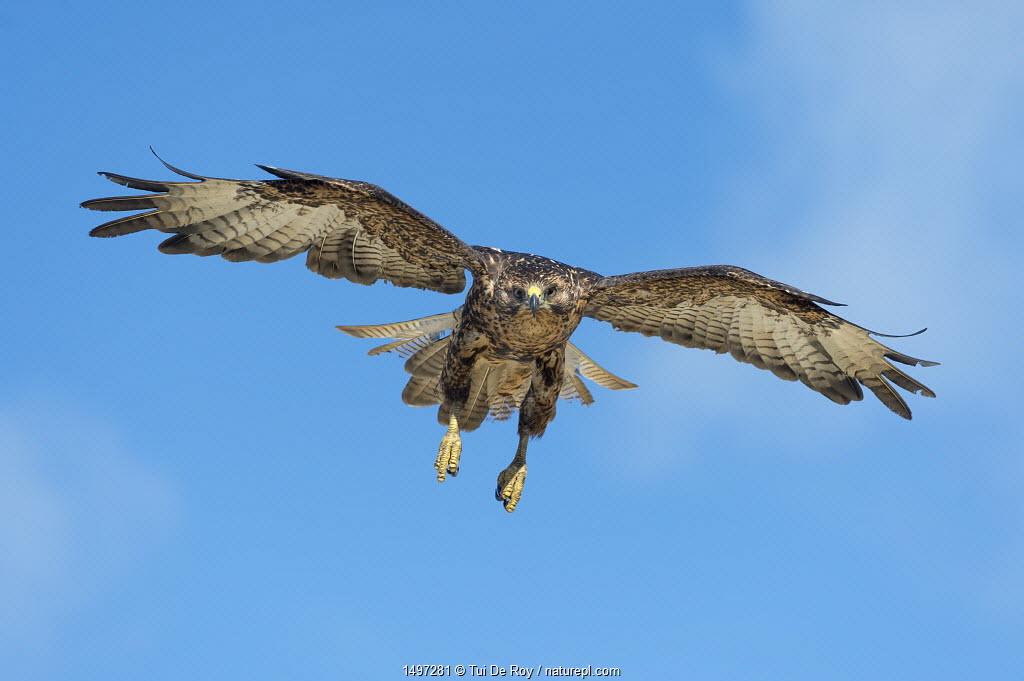 Galapagos hawk (Buteo galapagoensis) in flight, Galapagos, Ecuador. Vulnerable species.