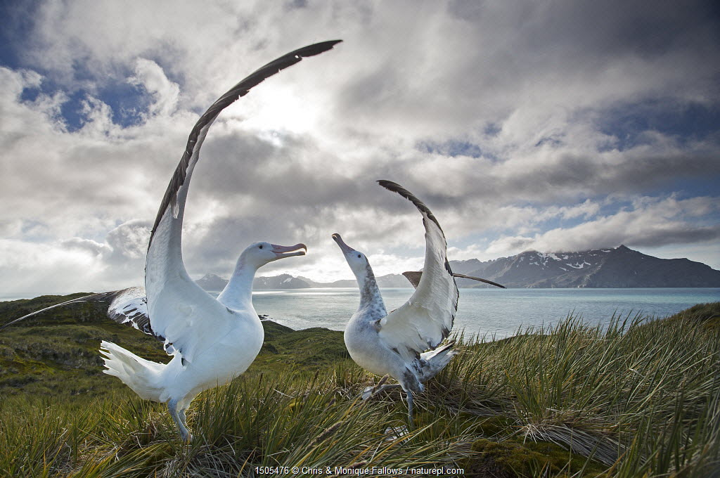 Wandering albatross (Diomedea exulans), engaged in mating display. South Georgia Island, Southern Ocean.