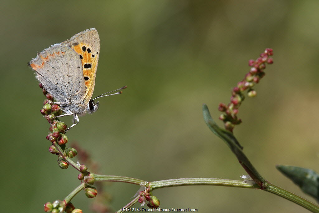 Grecian copper butterfly (Lycaena ottomana) resting on a plant, Corsica Island, France, May. Vulnerable species.