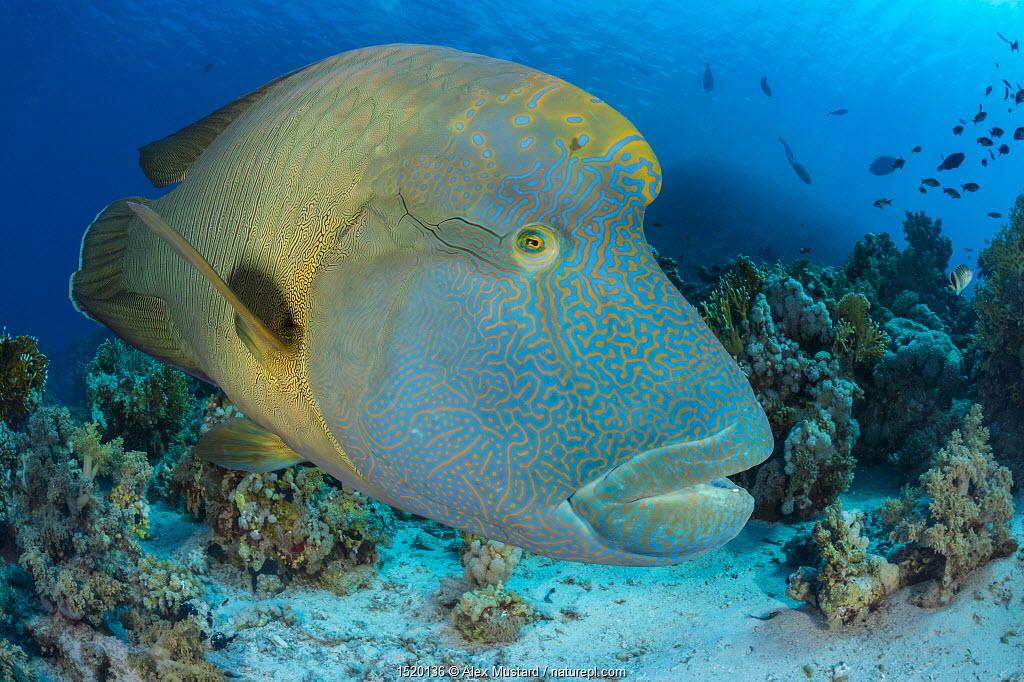 Napoleon wrasse (Cheilinus undulatus) super male, patrolling coral, Ras Mohammed Marine Park, Sinai, Egypt. Red Sea