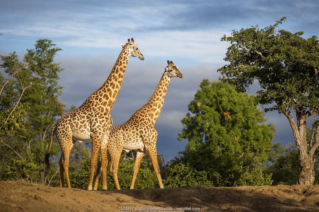 Two Rhodesian / Thornicroft giraffes (Giraffa camelopardalis thornicrofti) walking, South Luangwa National Park, Zambia, April