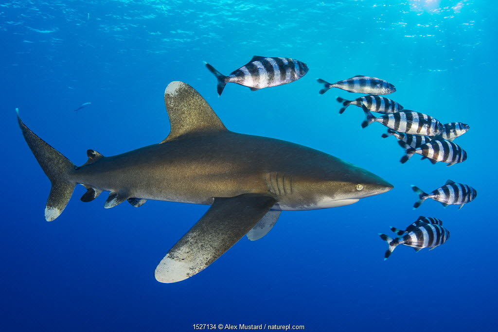 Oceanic whitetip shark (Carcharhinus longimanus) accompanied by a group of Pilotfish (Naucrates ductor). Rocky Island, Egypt. Red Sea