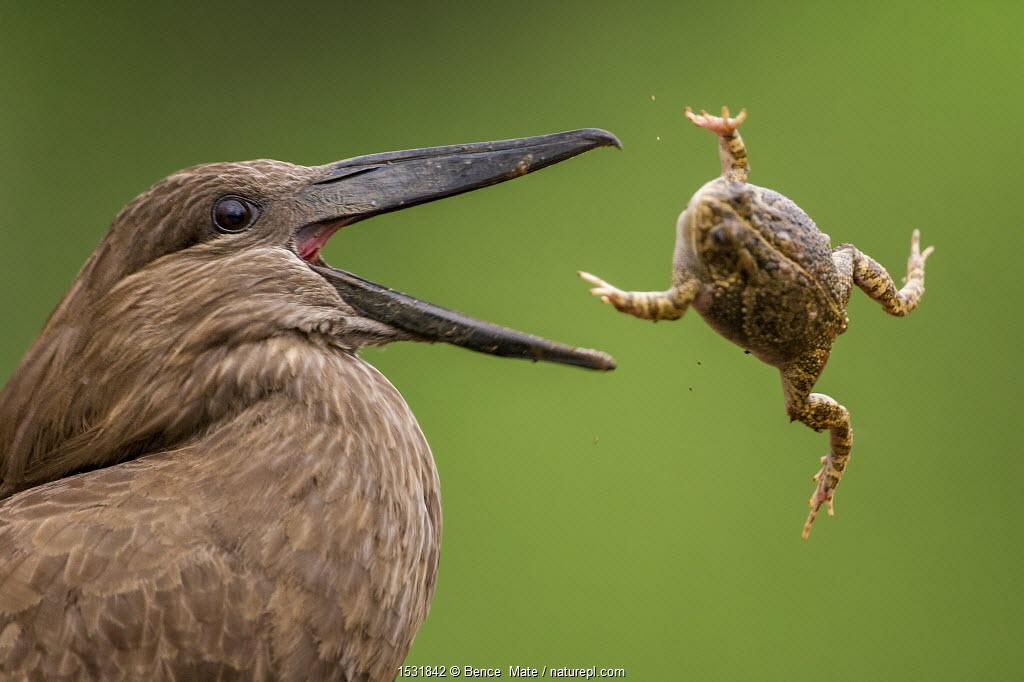 Hamerkop (Scopus umbretta) tossing frog prey, Mkuze, South Africa