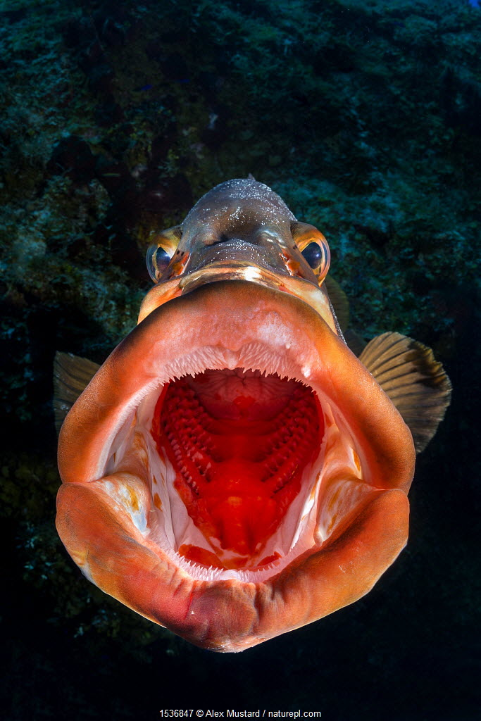 Nassau grouper (Epinephelus striatus) yawning on a coral reef drop off. San Salvador island, Bahamas. Bahamas Sea, Tropical West Atlantic Ocean.