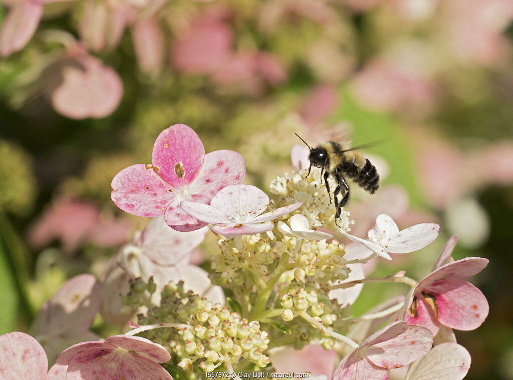 Rusty-patched bumblebee (Bombus affinis) male resting on hydrangea, Madison, Wisconsin, USA, August. Photographer